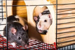 쥐를 반려동물로 키우는 일