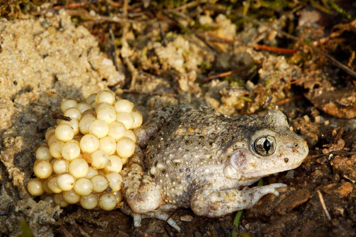 과다라마 산파개구리