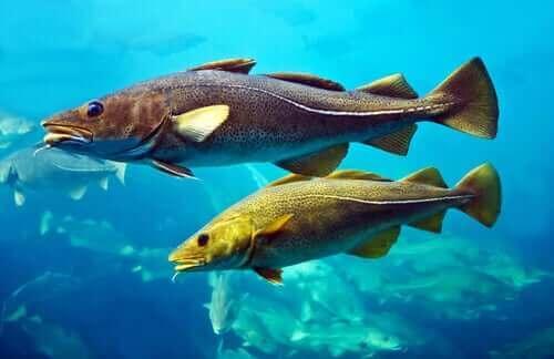 대서양 대구의 특징과 번식 방법