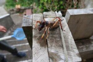 지구에서 가장 몸집이 큰 곤충, 웨타의 특징