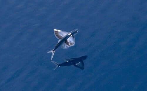 수면 위를 멋지게 날 수 있는 날치 3종