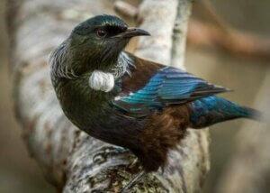 뉴질랜드의 꿀을 감정하는 새, 투이의 특징