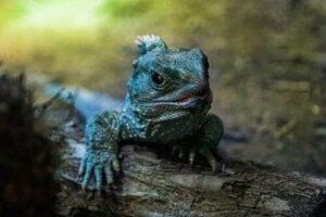 공룡 시대부터 살아남은 생존자, 큰도마뱀의 특징