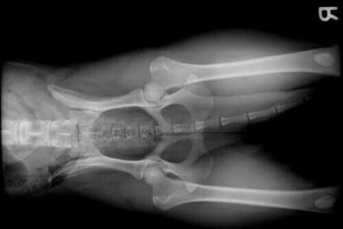 반려견 관절 슬개골