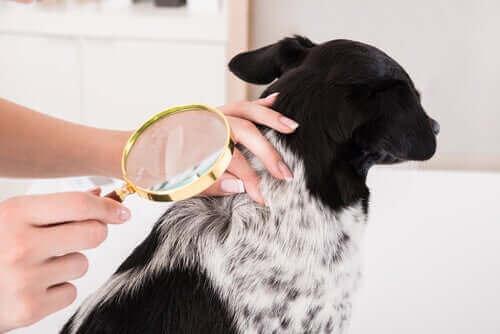 피부 염증이 생긴 반려견을 치료하는 방법