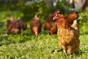 가축의 유전적 선택이란 무엇일까?