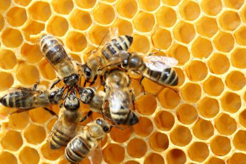꿀벌의 독특한 8자춤