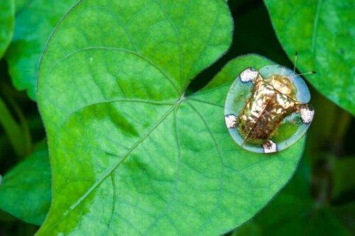 반짝반짝 빛이 나는 금자라남생이잎벌레