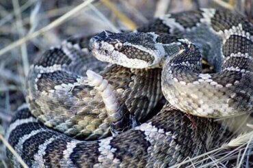 북미에 서식 중인 독이 있는 방울뱀