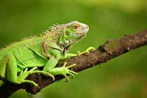 녹색 이구아나는 무엇을 먹을까