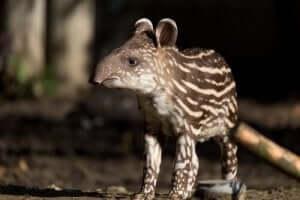 브라질 테이퍼: 코뿔소의 사촌