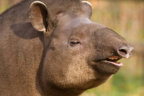 코뿔소의 사촌인 브라질 테이퍼의 특징