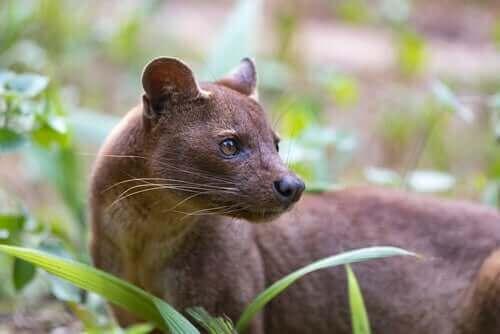 포사: 마다가스카르의 이색적인 포식 동물