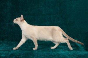고양이 고관절 이형성증의 모든 것