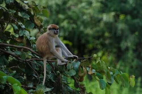 매혹적인 영장류 파타스 원숭이를 만나보자