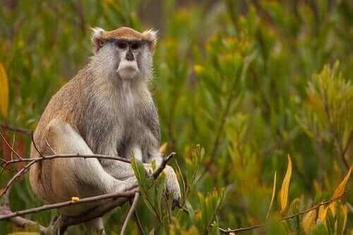 매혹적인 영장류, 파타스 원숭이의 특징