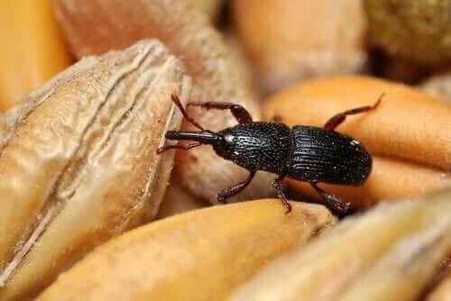 밀 바구미는 식료품 저장실에 존재하는 전염병