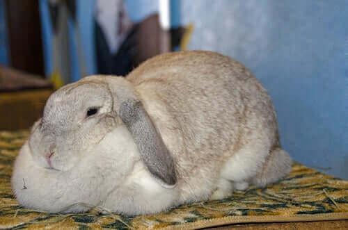 토끼 비만의 원인과 증상
