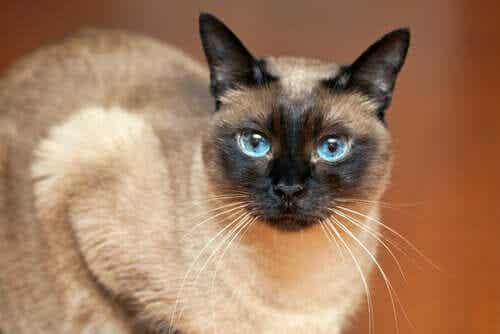 고양이 털빛 변화 멜라닌