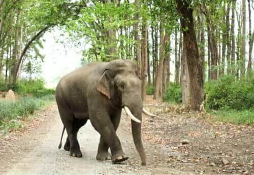 아시아코끼리 아종의 종류 및 외형적 특징