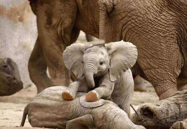 야생 코끼리 스트레스