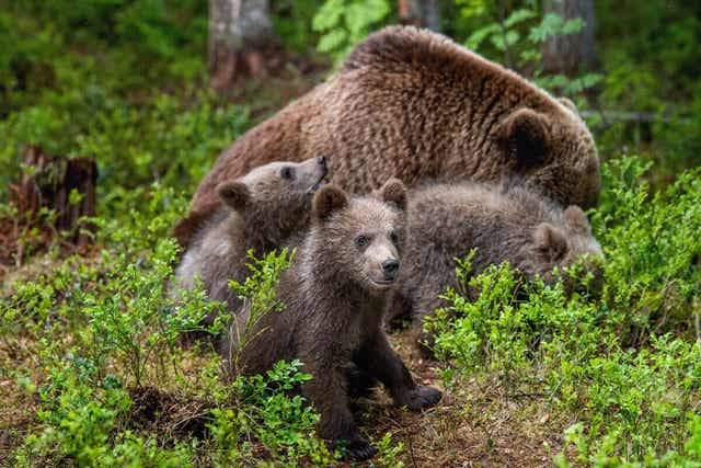 유라시아불곰 동면