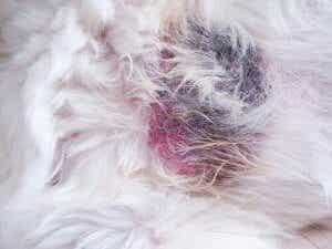 강아지 백선증 피부염