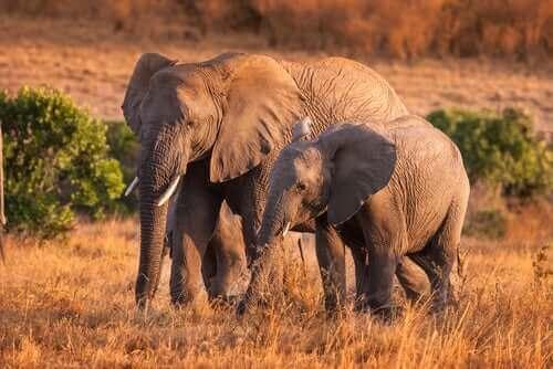 신기하면서 흥미로운 야생 코끼리 습성