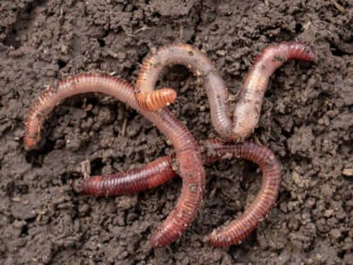 종류마다 다른 흥미로운 연충 생식 방법