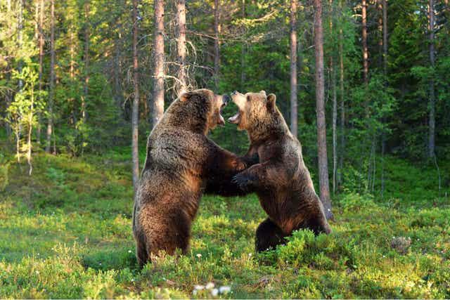 유라시아불곰 먹이 부족