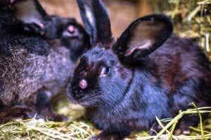 초식 동물들의 토끼 점액종