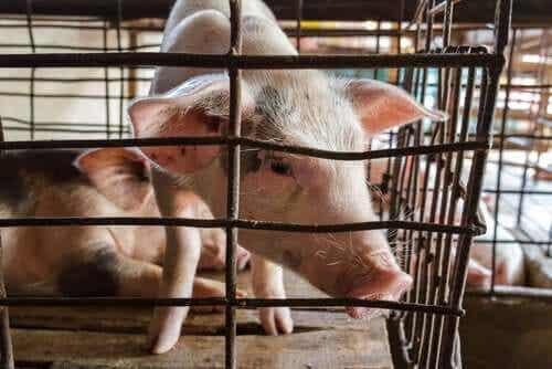 돼지 호흡기 축사 환경