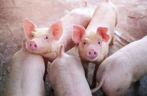 돼지 호흡기 마이코플라스마